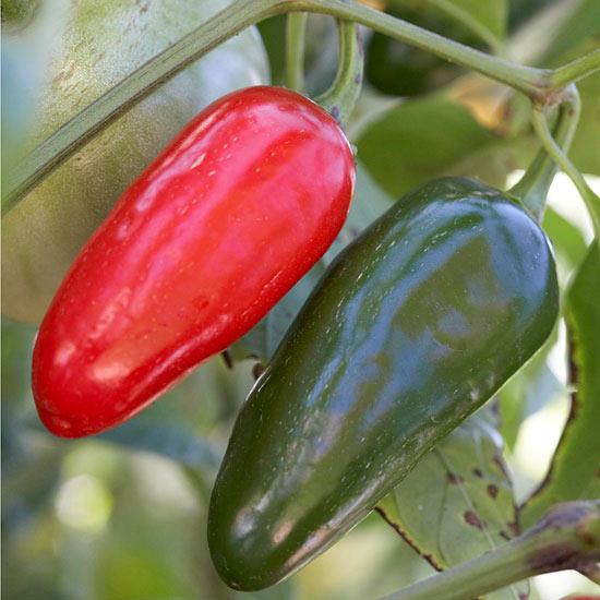 Jalapeno, chili