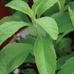 Stevia/sötflockel