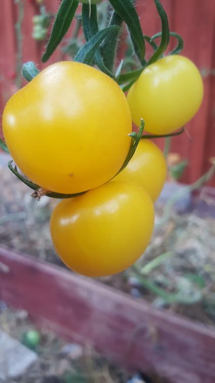 Ansofs Gule, tomat