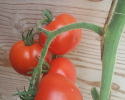 Selandia, tomat