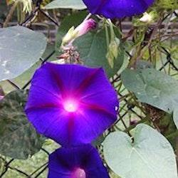 Grandpa Otts, blomman för dagen