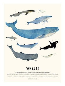 Poster Whales, Casablanca paper