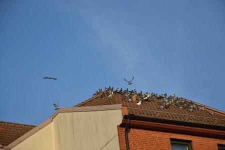 Fågelpiggar 100 m P20