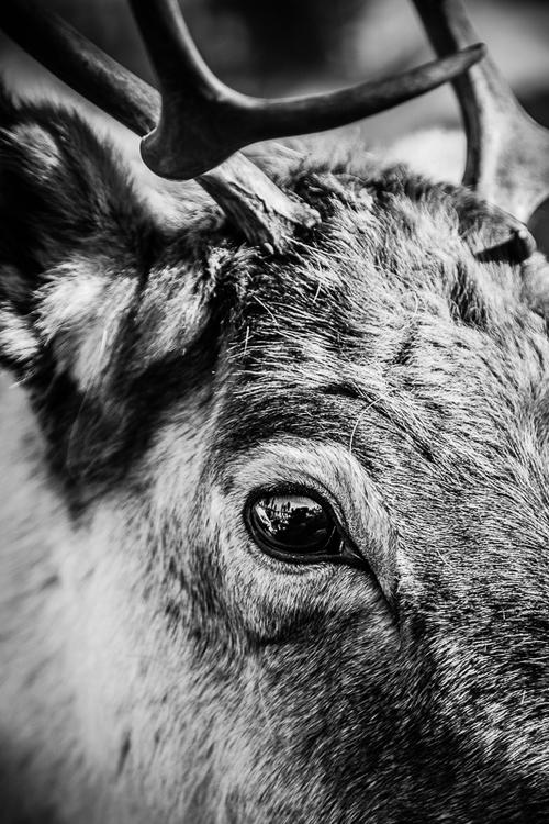 Reindeer Eye Trätavla