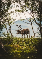 A Friend with Antlers Trätavla