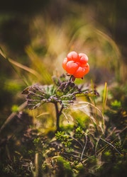 Cloudberry Trätavla