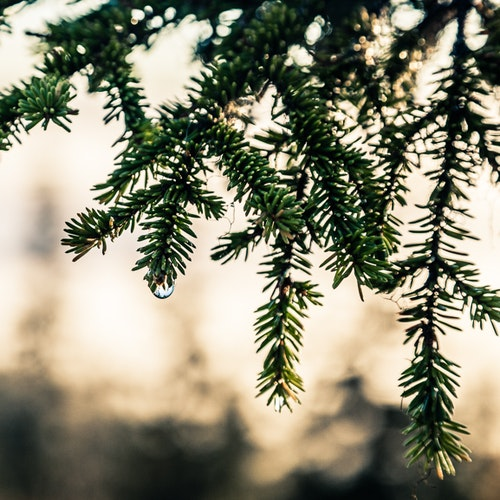 Pinus SQ Canvas