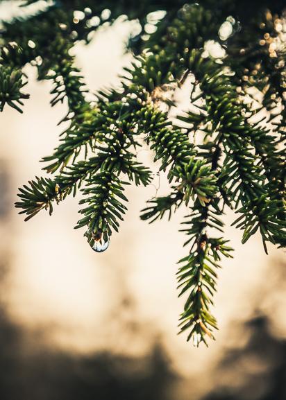 Pinus Poster