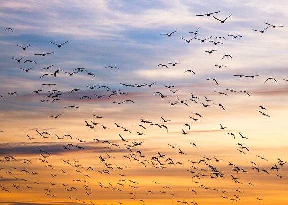 Flyttfåglar Poster