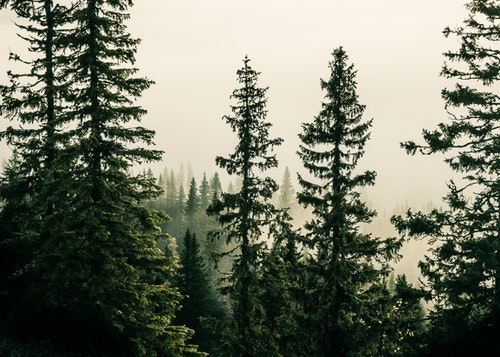 Picea Abies Canvas