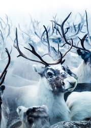 Reindeers Canvas