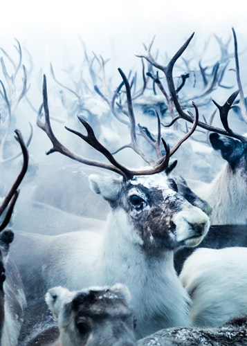 Reindeers Canvas