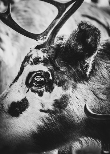 Reindeer Eye Canvas