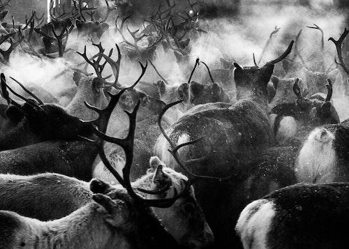 Reindeer Separation Poster