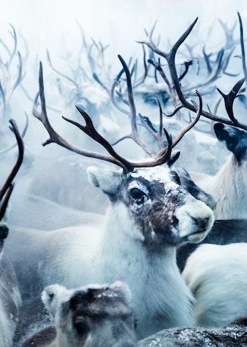 Reindeers Trätavla