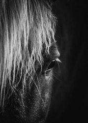 Häst Svartvit Poster