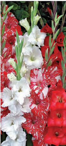 "Gladiolus ""Peppermint"" Mix"