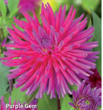 "Dahlia ""Purple Gem"""