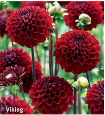 "Dahlia ""Viking"""