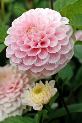 "Dahlia ""Wizard of Oz"""