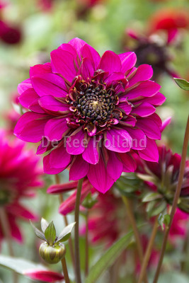 "Dahlia ""Purple Haze"""