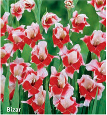 """Gladiolus """"Bizar"""""""