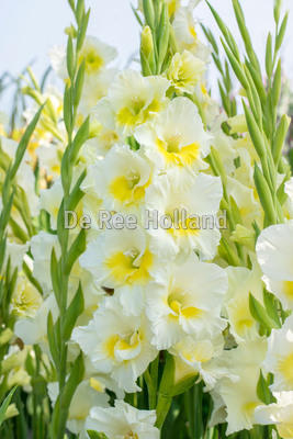 "Gladiolus ""Break of Dawn"""