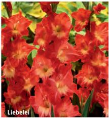 """Gladiolus """"Liebelei"""""""