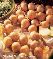 """Schalottenlök """"Golden Gourmet"""""""