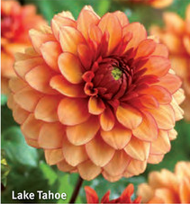 "Dahlia ""Lake Tahoe"""