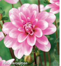 "Dahlia ""Pink Perception"""