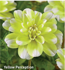 "Dahlia ""Yellow Perception"""