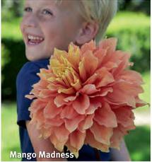 """Dahlia """"Mango Madness"""""""