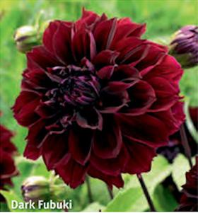 "Dahlia ""Dark Fubuki"""