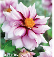 "Dahlia ""Edge of Joy"""