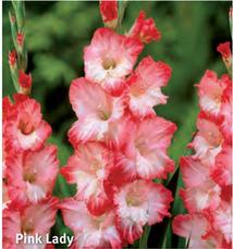 "Gladiolus ""Pink Lady"""
