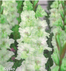 """Gladiolus """"Gydan"""""""
