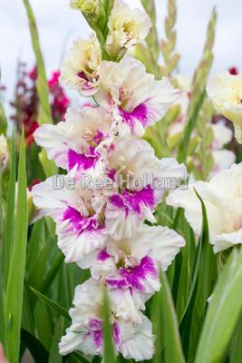 """Gladiolus """"Kirov"""""""