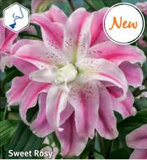 """Lilja """"Sweet Rosy"""""""
