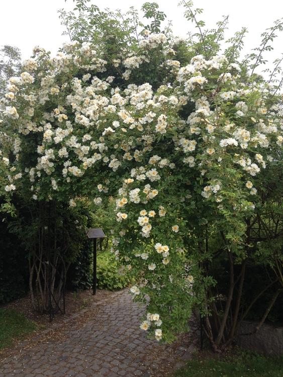 Honungsros - Helenae Lykkefund
