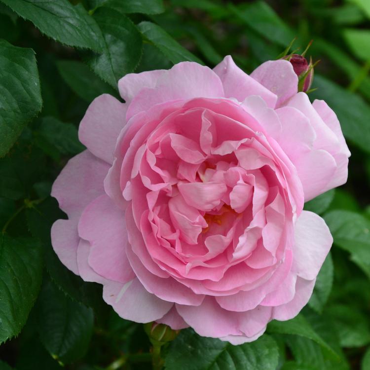 Mary Rose - AUSmary