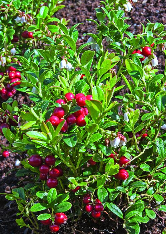 "Vaccinium vitis-idaea ""koralle"""