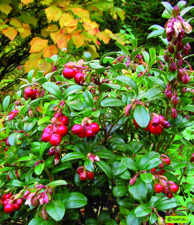 """Vaccinium vitis-idaea """"Red Pearl"""""""