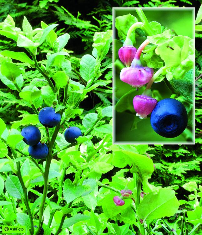 Vaccinium Myrtillus - Skogsblåbär