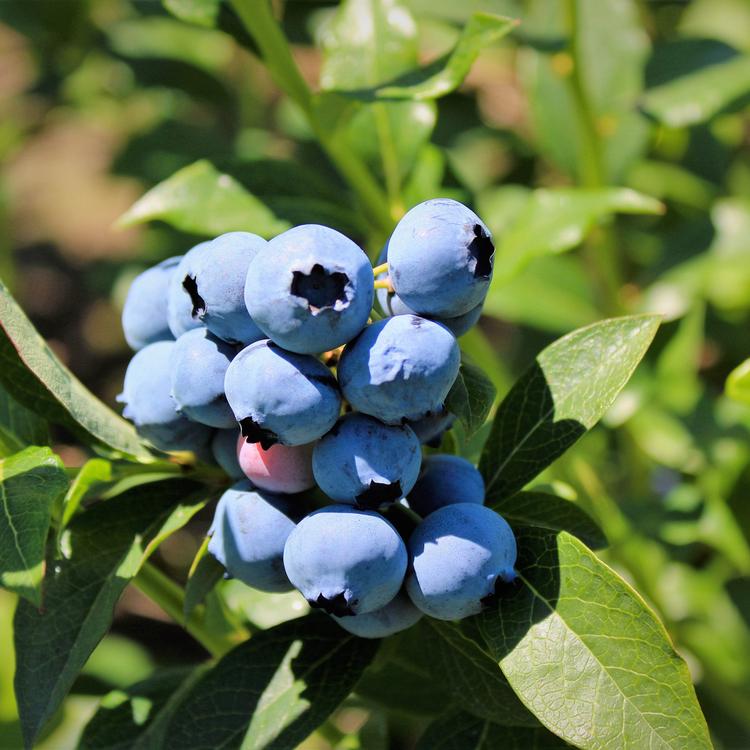 """Vaccinium Corymbosum """"Bluecrop"""""""