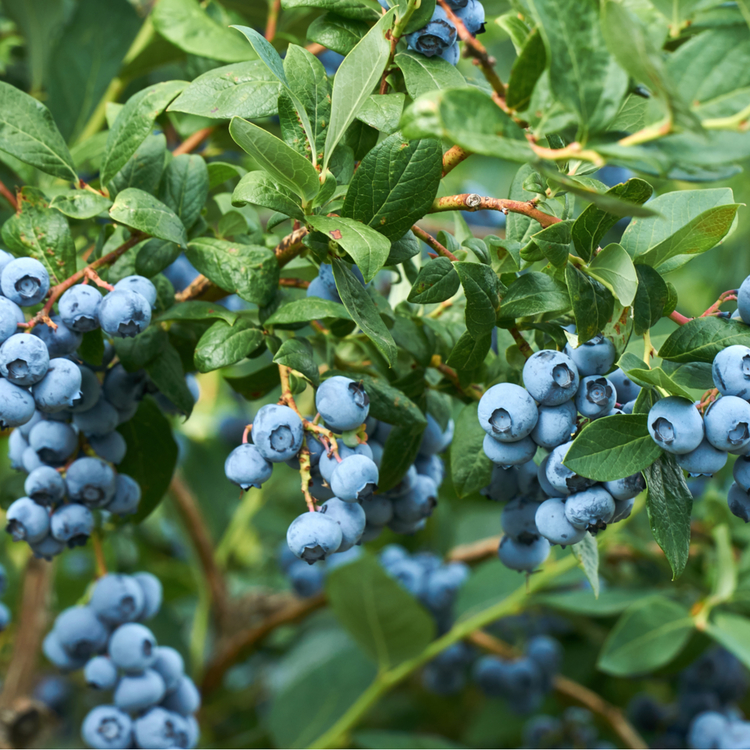 """Vaccinium Corymbosum """"Blue Sapphire"""""""