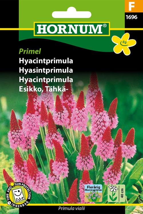 """Hyacintprimula """"Primula Vialii"""""""
