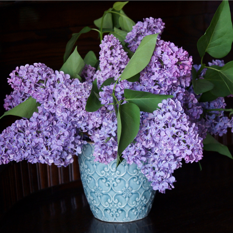 10 pack - Bond Syren (Syringa Vulgaris)