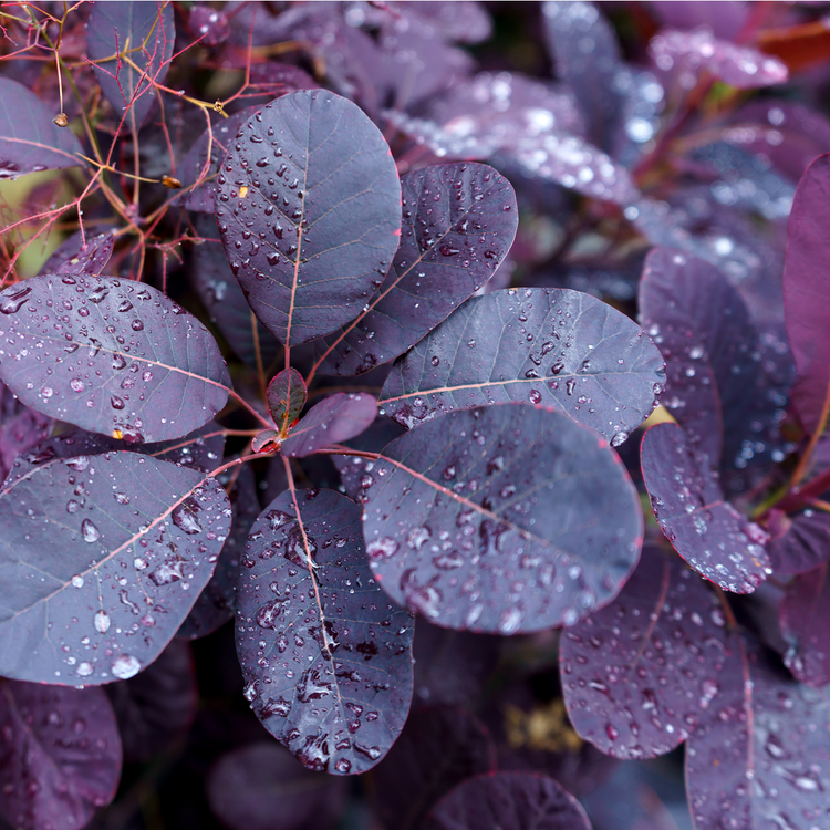 "Perukbuske (Cotinus Coggrygria ""Royal Purple"")"