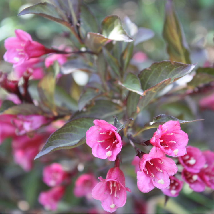 "Purpurprakttry (Weigela Florida ""Purpurea"")"